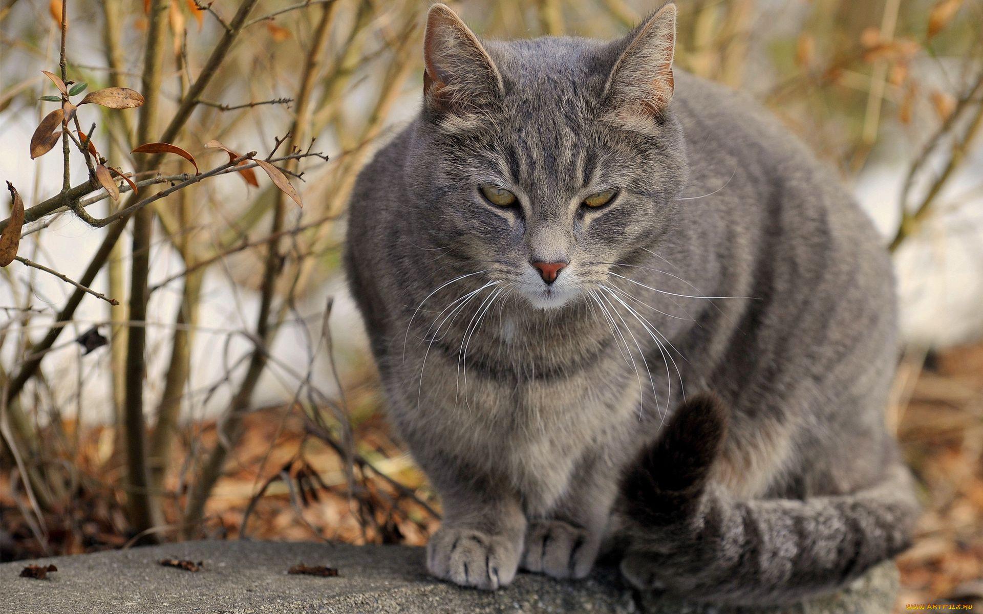 Фото серые большие коты